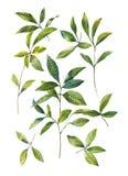 Aquarellmalerei von Blättern auf weißer Hintergrundillustration Lizenzfreie Abbildung