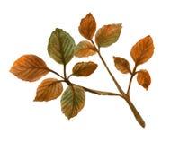 Aquarellniederlassung eines Baums mit gelb gefärbten Blättern stockfoto