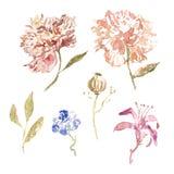 Aquarellpfingstrosenblumen in der modischen beige und rosa Farbe mit den Blättern lokalisiert auf weißem Hintergrund Botanisches  lizenzfreie abbildung