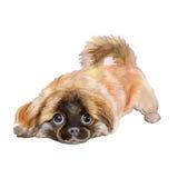 Aquarellporträt des roten pekingese chinesischen Hundes, Lion Dog, Peking Lion Dog, Pelchie-Hund auf weißem Hintergrund Stockfotografie