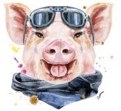 Aquarellporträt des Schweins mit Radfahrersonnenbrille stockfotos