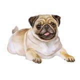 Aquarellporträt des weißen und schwarzen Pugzuchthundes, Mops, chinesischer Pug, niederländische Bulldogge, niederländischer Mast Stockbild