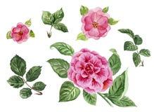 Aquarellrosen und Blätter, rosa handgemalte Blumen, Pfingstrose d Stockfotos