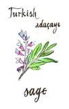 Aquarellsalbei - Illustration Lizenzfreies Stockbild
