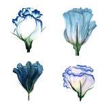 Aquarellsatz von Blumen Eustoma Stockfotografie