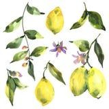 Aquarellsatz Zitrusfruchtzitrone der Niederlassung frische, grüne Blätter und Blumen lizenzfreie abbildung