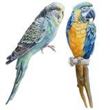 Aquarellvögel Blauer Wellensittich und blauer Papagei lizenzfreies stockfoto