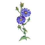 Aquarellzeichnung der Zichorie, Zichorie blüht Blüte und sprießt auf weißem Hintergrund Hand gezeichnete Anlage Lizenzfreie Stockfotos
