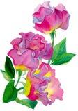 Aquarellzusammensetzung von drei Rosenrosa und gelber Farbe mit grünen Blättern stockfotos