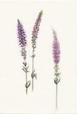 Aquarellzweige violetten Feld salvia Lizenzfreies Stockbild