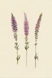 Aquarellzweige violetten Feld salvia Stockfotografie