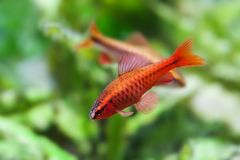 Aquaria still life scene, colorful freshwater fishes aquarium tank macro view, shallow depth of field. Cherry barb male. Fishes Puntius titteya Cyprinidae Royalty Free Stock Photo