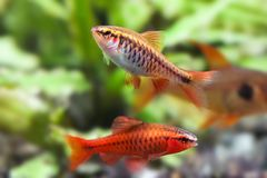 Aquaria still life scene, colorful freshwater fishes macro view, shallow depth of field. Cherry barb male fishes Puntius Stock Image