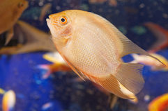 aquarian ψάρια μικρά Στοκ φωτογραφίες με δικαίωμα ελεύθερης χρήσης