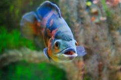 aquarian ψάρια Στοκ Φωτογραφίες