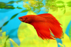 aquarian ψάρια betta splendens Στοκ Φωτογραφία