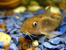 Aquarian catfish stock image