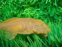 aquarian dolichopterus γατόψαρων ancistrus Στοκ Φωτογραφίες