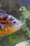 Aquarian fish  Stock Photo