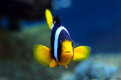 Aquarian fish of Amphiprion clarkii Royalty Free Stock Photo