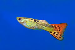 Aquarian fish of the guppy. The male of the guppy close up floats in an aquarium royalty free stock photography