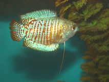 Aquarian fish ljalius Colisa lalia. Whis red and blue strips Stock Photography