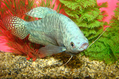Aquarian fish Trichogaster trichopterus Royalty Free Stock Photos