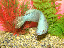 Aquarian fish Trichogaster trichopterus Stock Photo
