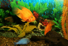 Aquarian fishes Royalty Free Stock Photography