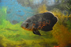 Aquarian fishes Astronotus a predator the jumping-out small fish. Aquarian fishes Astronotus a predator the jumping-out Tsikhlozom's small fish yaguarovidny Royalty Free Stock Images