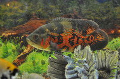 Aquarian fishes Astronotus a predator the jumping-out small fish Royalty Free Stock Photo