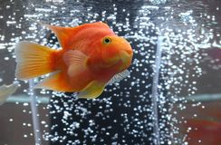 Aquarian goldfish. Goldfish in aquarium with bubbled air Stock Photography