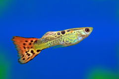 Aquarian ryba guppy Fotografia Stock