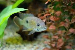 Aquarian small fish Stock Images