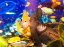 Aquarian small fish Royalty Free Stock Images