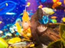 Aquarian small fish. Background with beautiful yellow aquarian small fish Royalty Free Stock Images