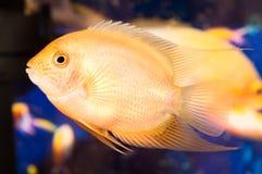 Aquarian small fish. Beautiful yellow aquarian small fish Stock Images