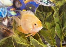 Aquarian small fish. Beautiful yellow aquarian small fish Royalty Free Stock Photo