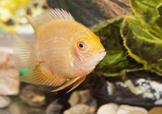 Aquarian small fish Stock Images