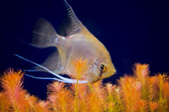 Aquarian small fish - Pterophyllum scalare Stock Image