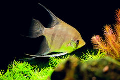 Aquarian small fish - Pterophyllum scalare Stock Images