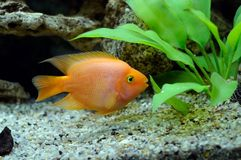 Aquarian small fish Red parrot Stock Image