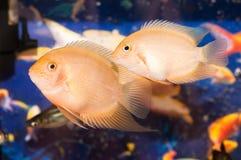 Aquarian small fishes. Two beautiful yellow aquarian small fishes Royalty Free Stock Image
