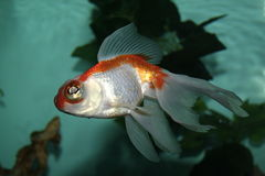 aquarianfisk Royaltyfria Foton