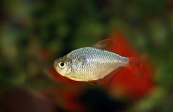 Aquarianfisk av en tetr Arkivfoto