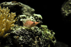 Aquarium. White with red lattice-like markings resembling a grid. Nose is elongated and tissue between the spines of the dorsal fin is missing Royalty Free Stock Images