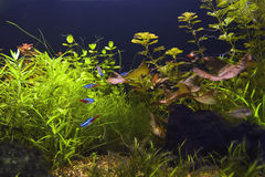 Aquarium. Fish and plants in aquarium Stock Image