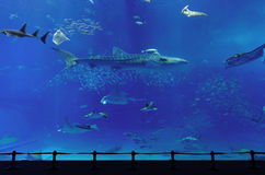 Aquarium. With whale shark in Okinawa Stock Image