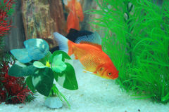 Aquarium. Beautiful gold fishes swimming in a colorful aquarium Royalty Free Stock Photography