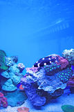 Aquarium. Wild species of red sea fish and coral Royalty Free Stock Photo